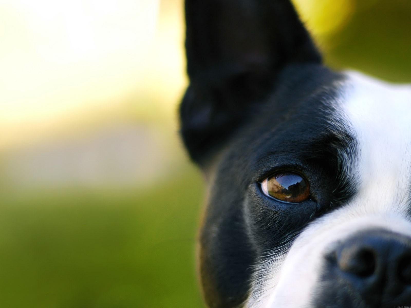 собака мордочка уши  № 1069485 загрузить