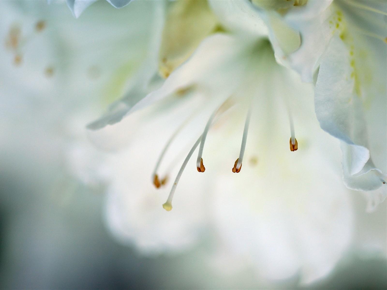 макро цветок пестик  № 3231644 бесплатно