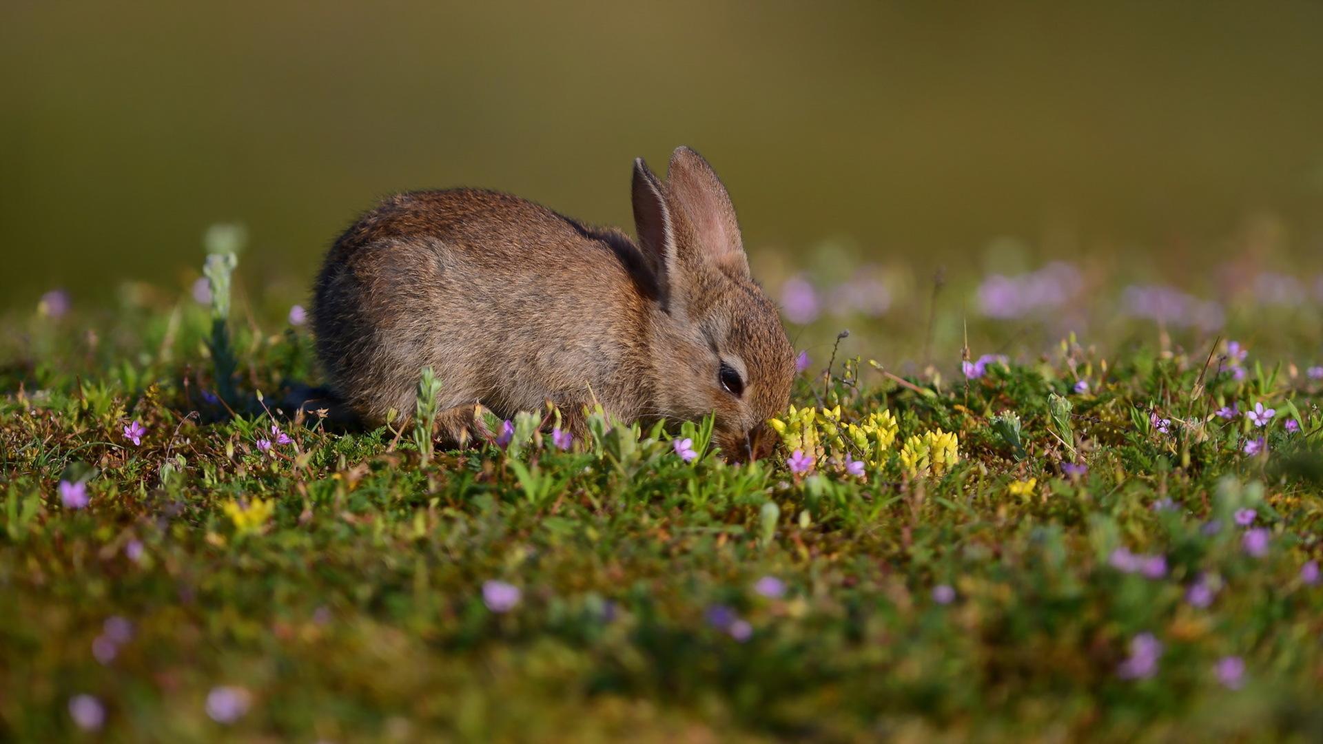 природа животное кролик  № 1593222  скачать