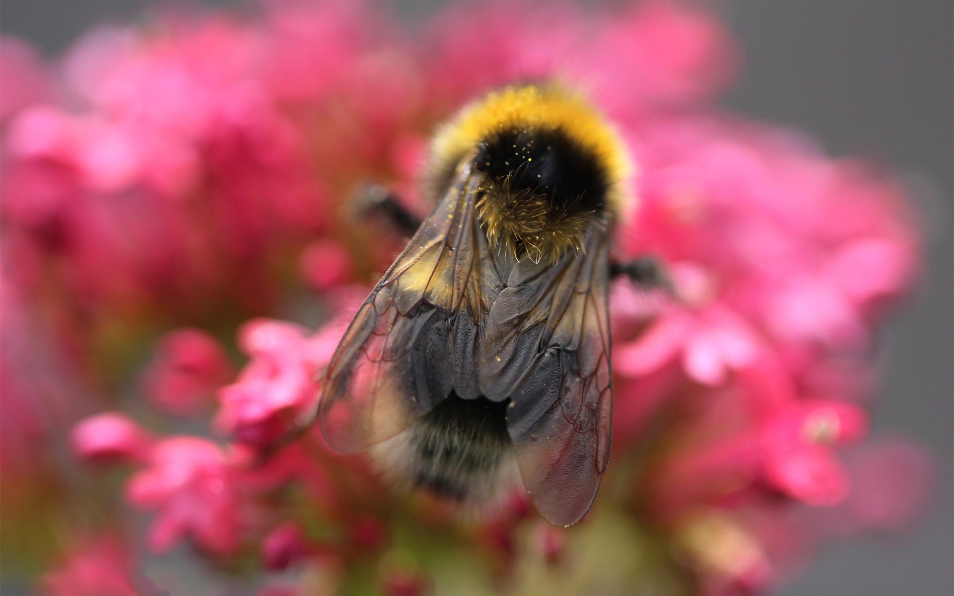 пчела цветы розовые flowers pink bee  № 910723  скачать