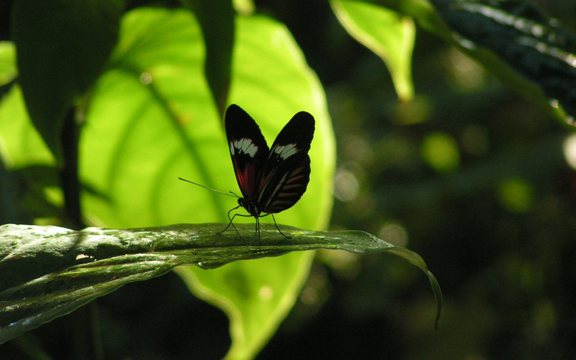 бабочка папоротник  № 3138413 без смс