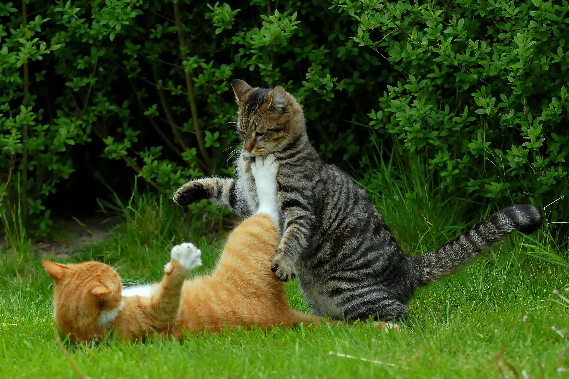 do cats still spray after being spayed