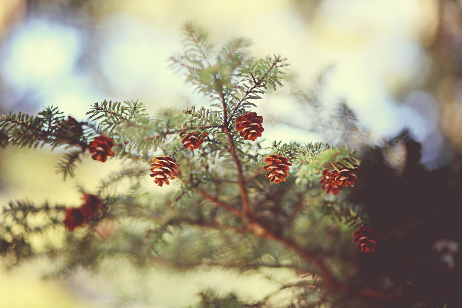 природа деревья ель  № 316191  скачать