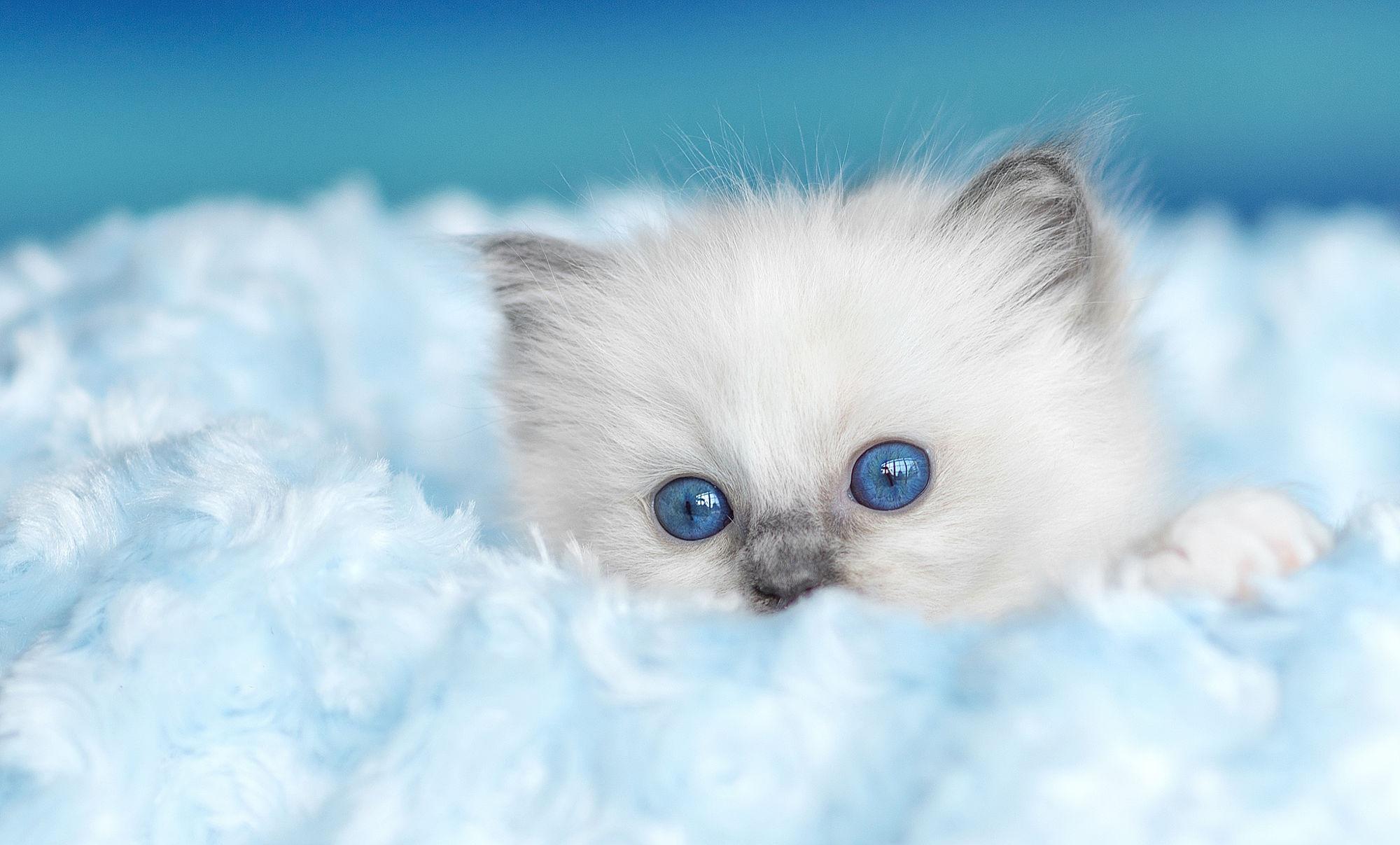 Голубоглазые кота  № 3010598 загрузить
