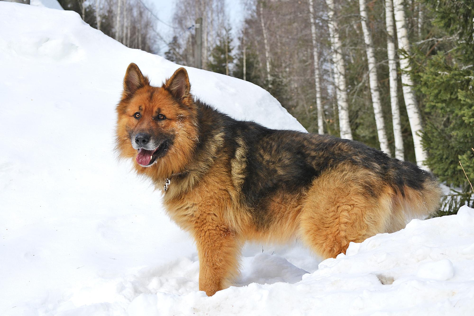 Овчарка в снегу  № 836453 без смс