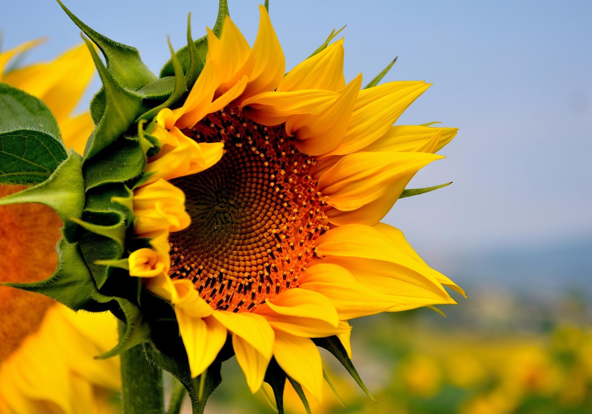 природа цветы подсолнечник  № 2671764 без смс