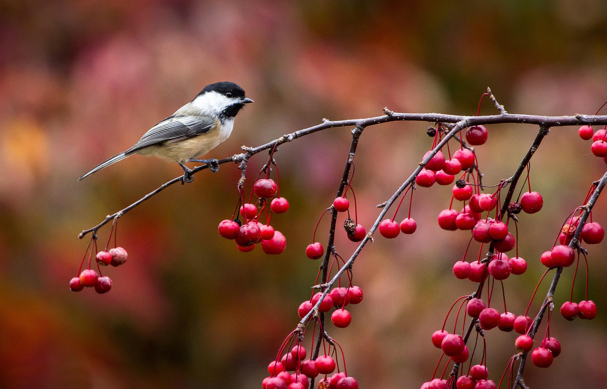 Птицы на ветке  № 1652638 бесплатно