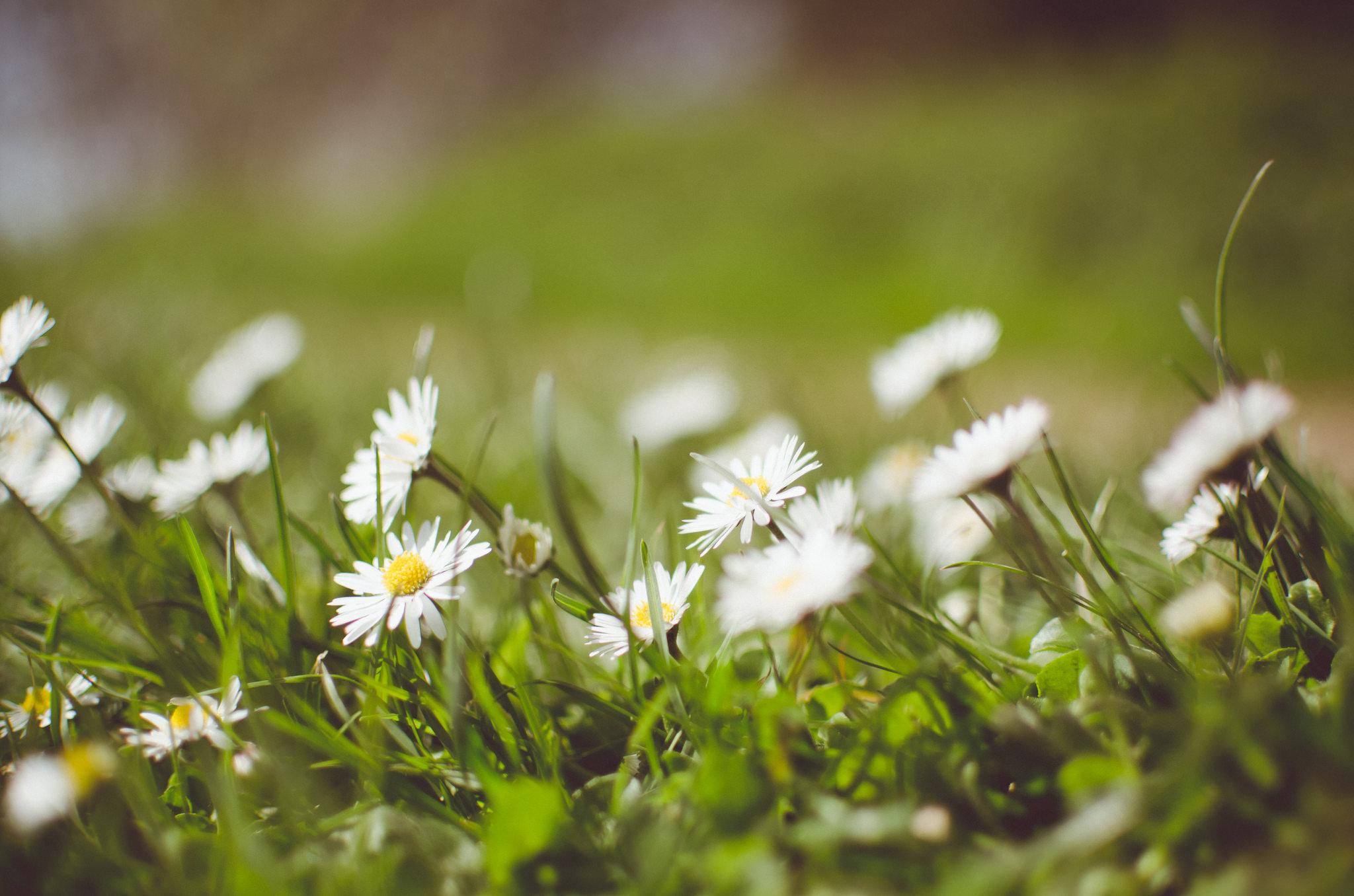 ромашки трава chamomile grass  № 3837875 загрузить