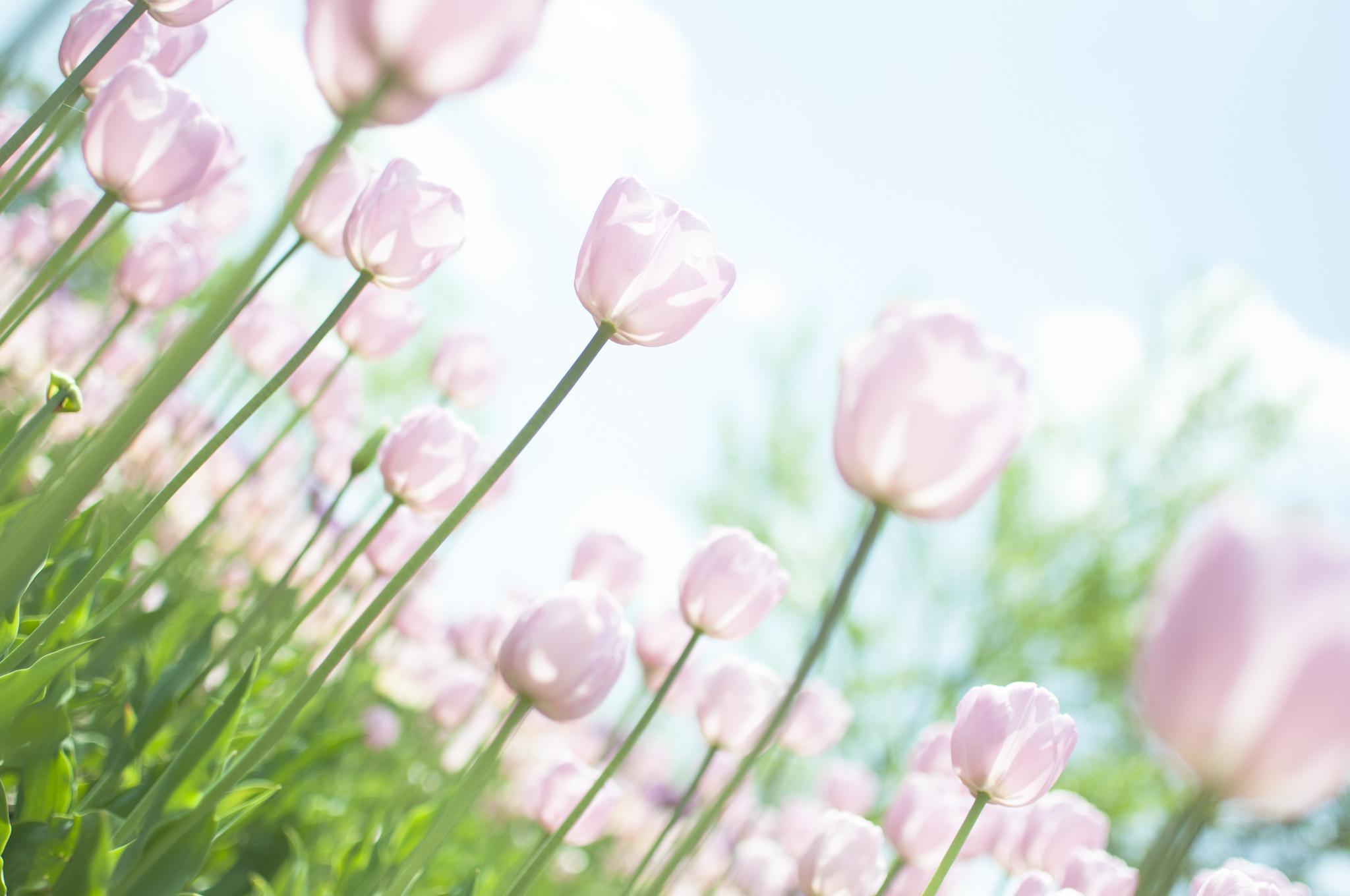 тюльпаны свет цветы  № 736338 загрузить
