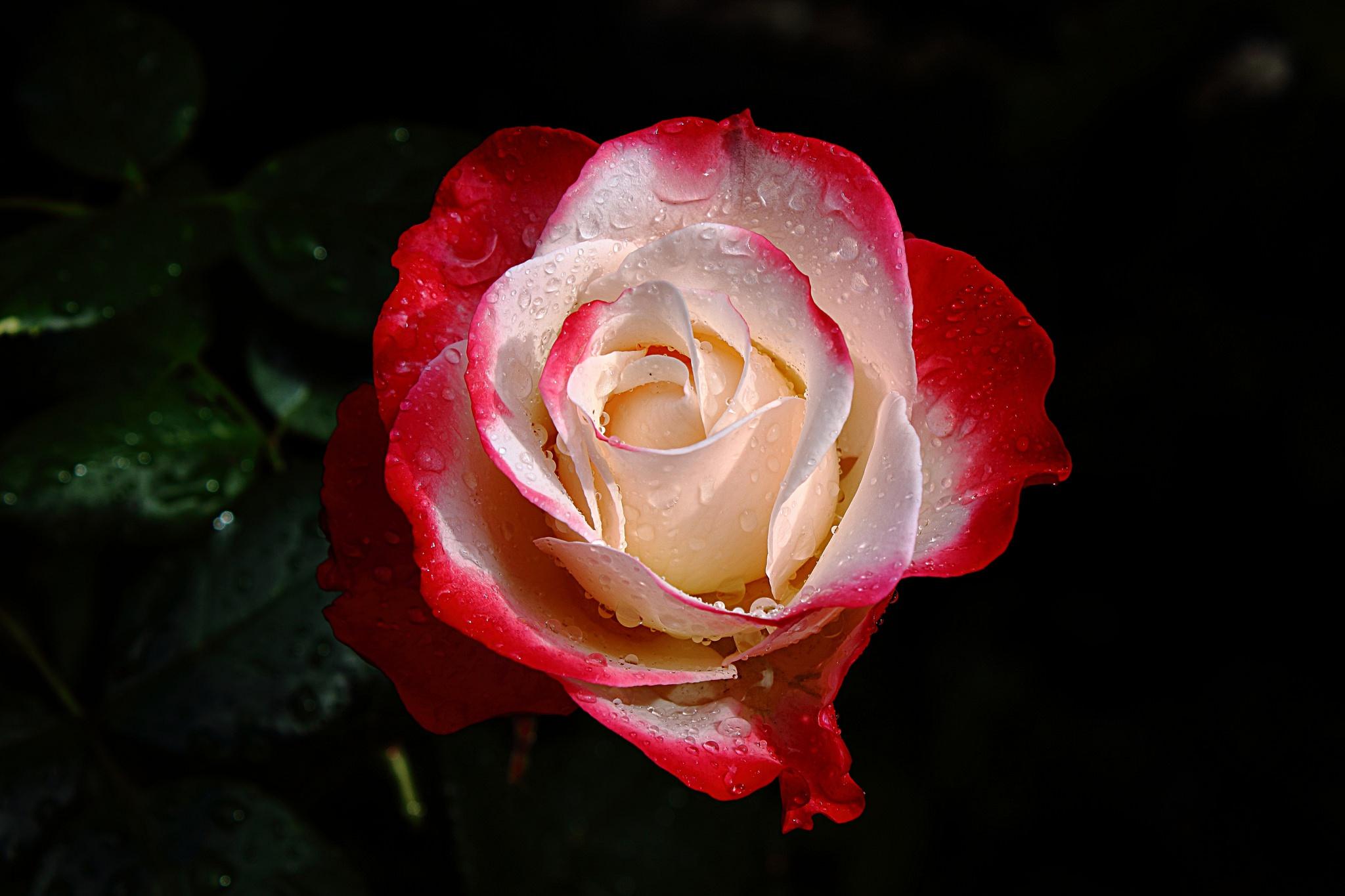 Роза с капельками  № 1352917 загрузить