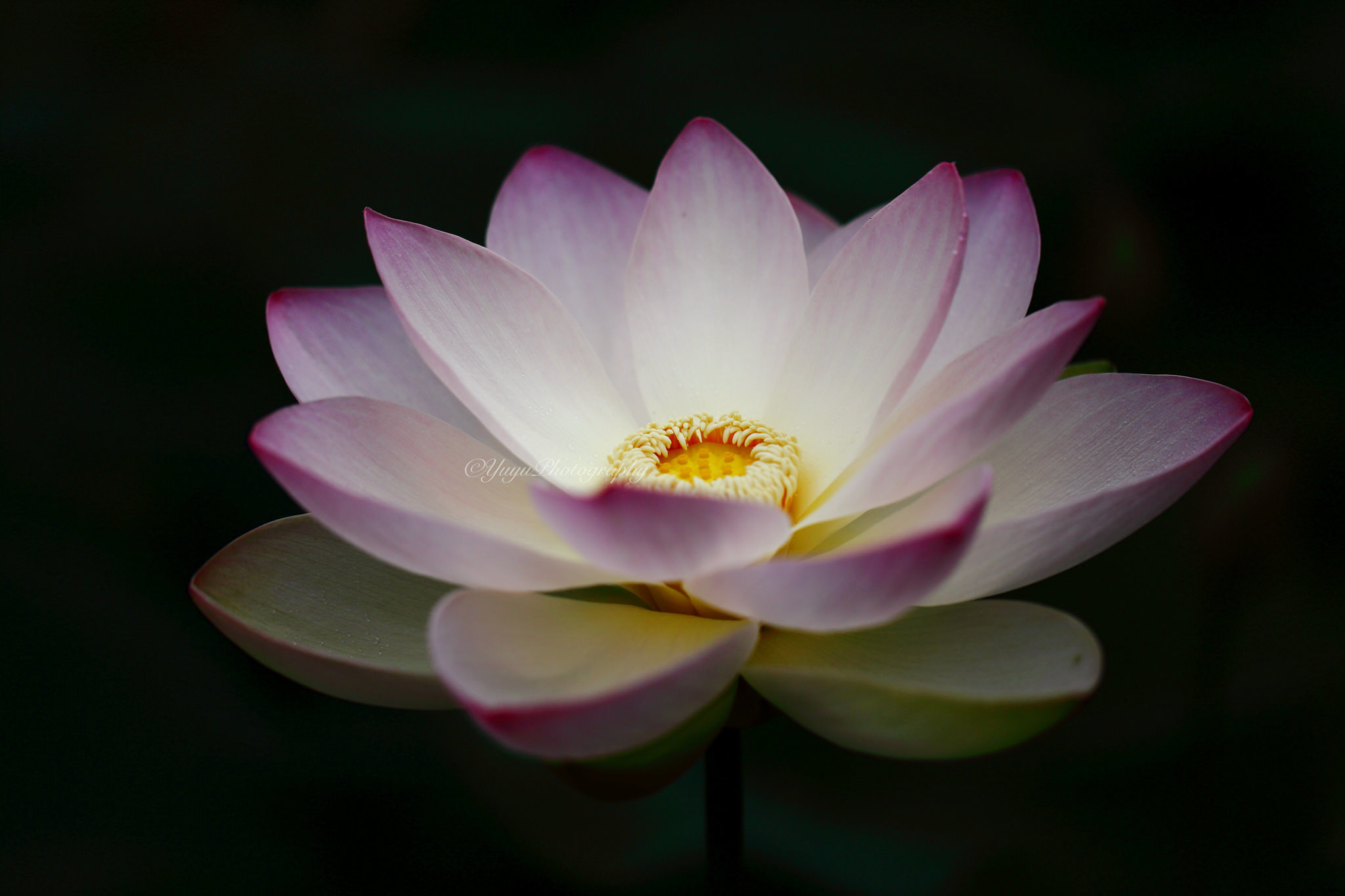 Чёрный лотос цветок фото