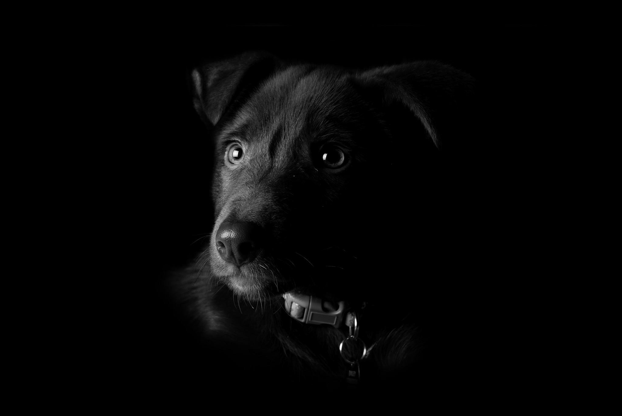 Пёс черный взгляд  № 1127518 загрузить