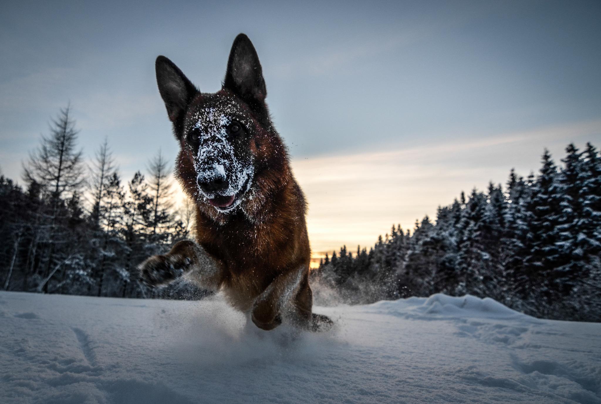 Овчарка в снегу  № 836529  скачать