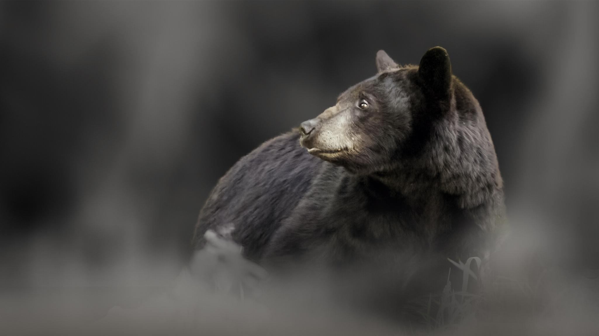 Черны медведь  № 3207634 без смс