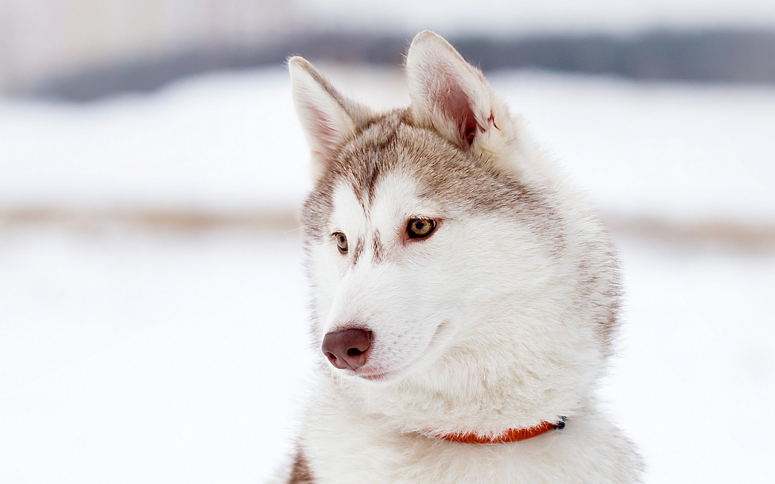 животное собака мару  № 2018157 бесплатно