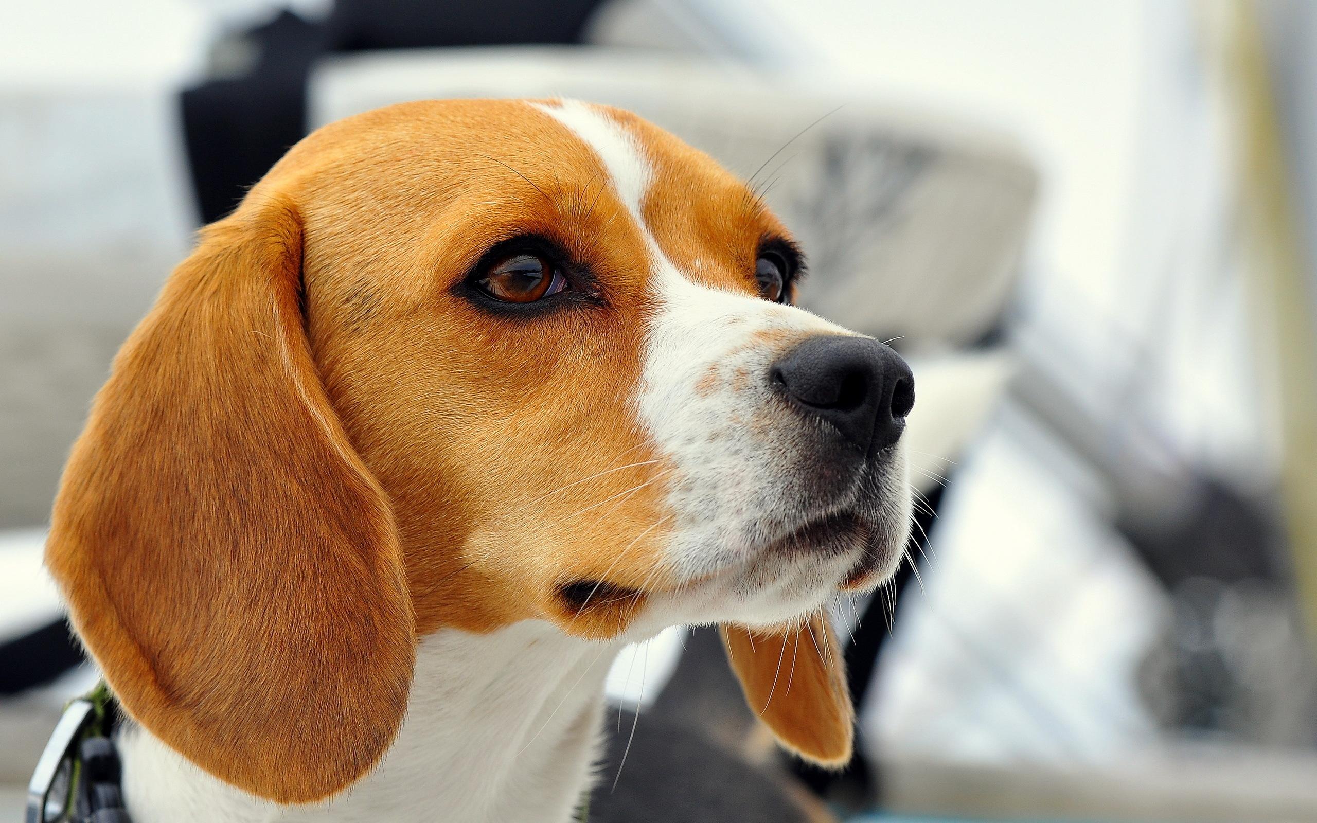 собака мордочка уши  № 1069361 бесплатно