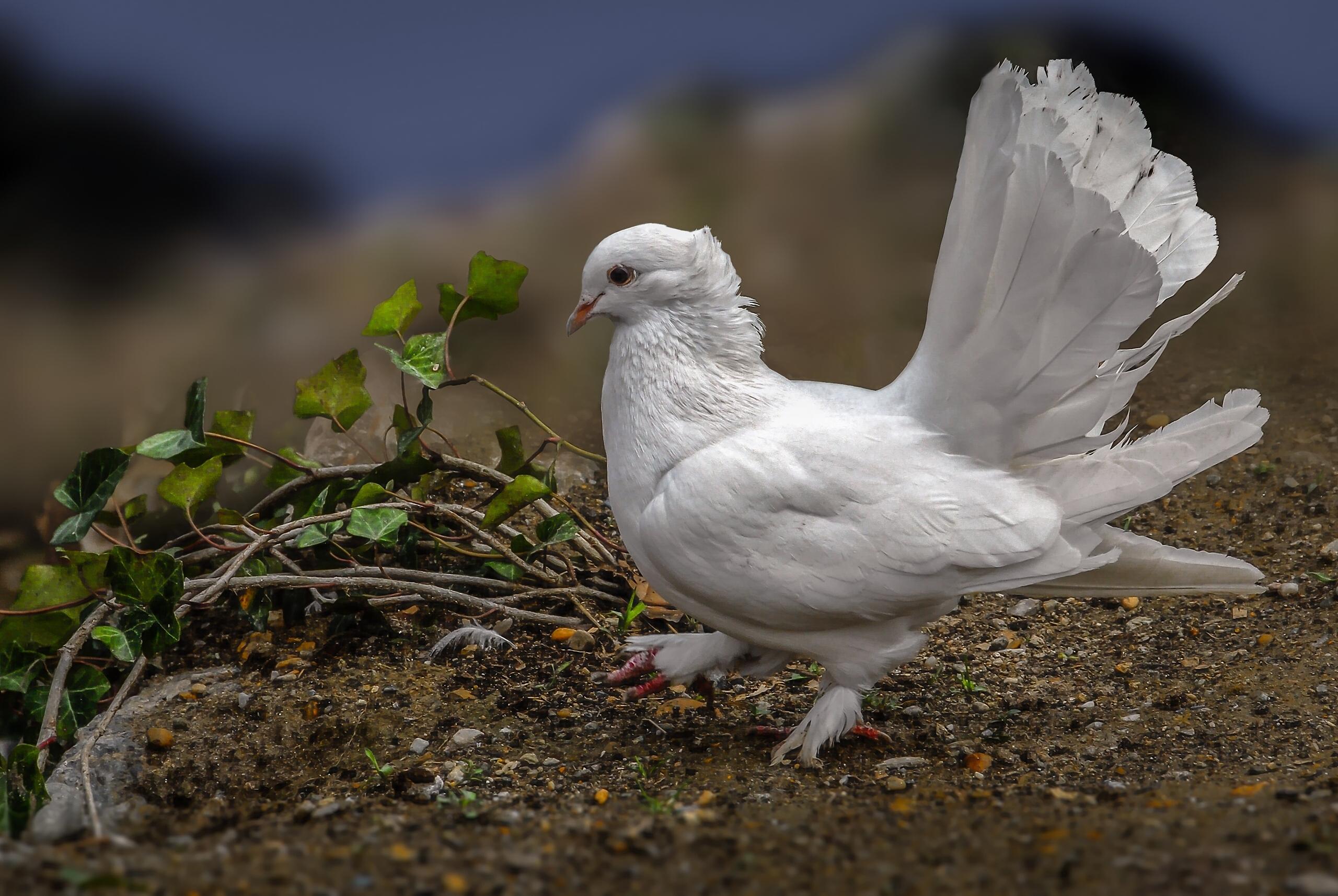 природа белые птицы ветка голуби  № 592564 без смс