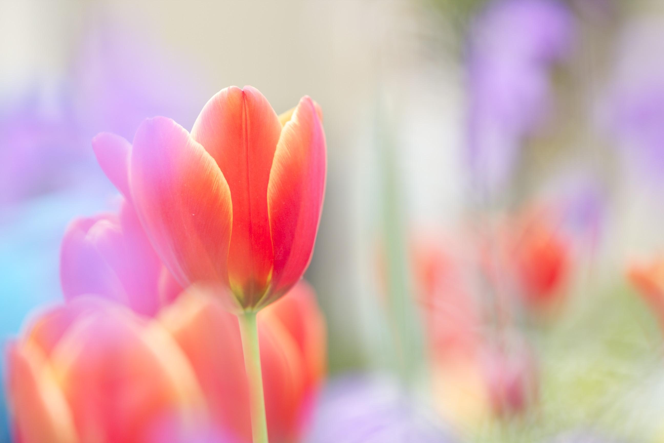 тюльпаны свет цветы  № 736242 загрузить