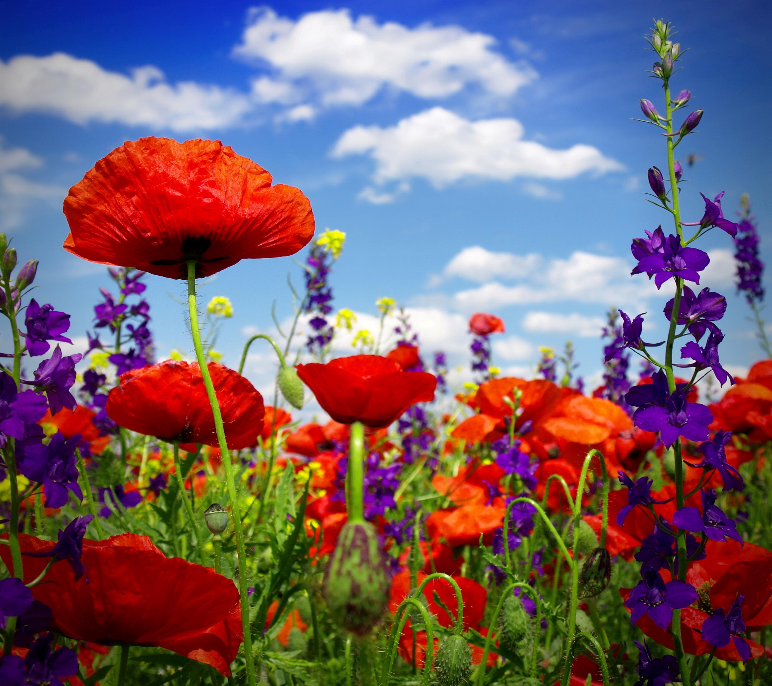 poppy - HD1200×1067