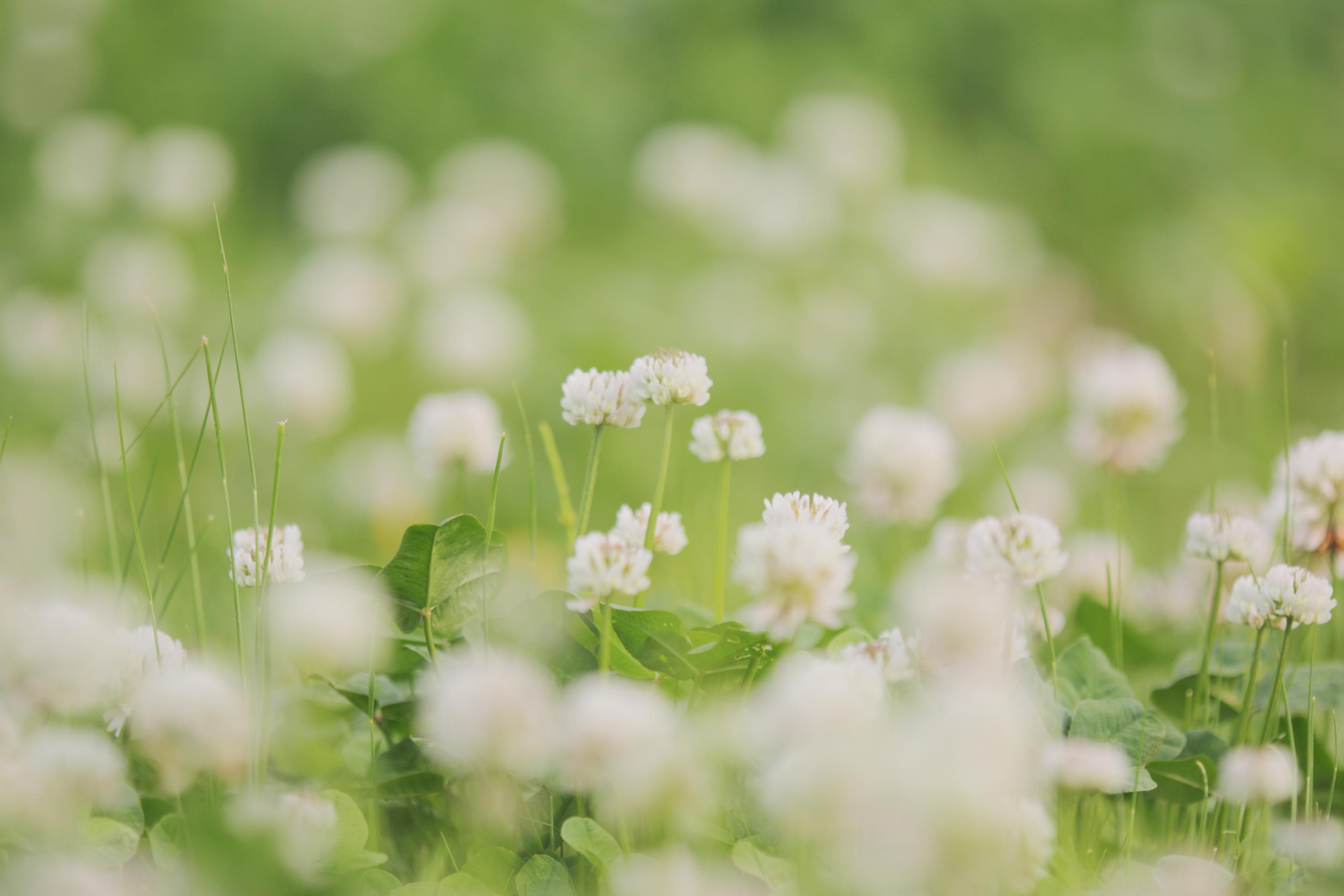 Цветы клевер  № 1341254 без смс