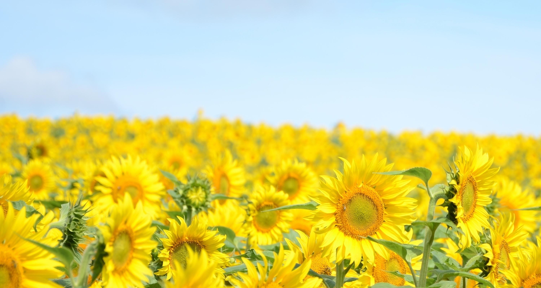 природа цветы подсолнечник  № 2671870 без смс