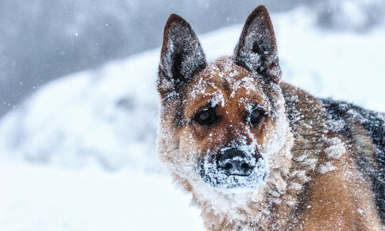 Овчарка в снегу  № 836493 без смс