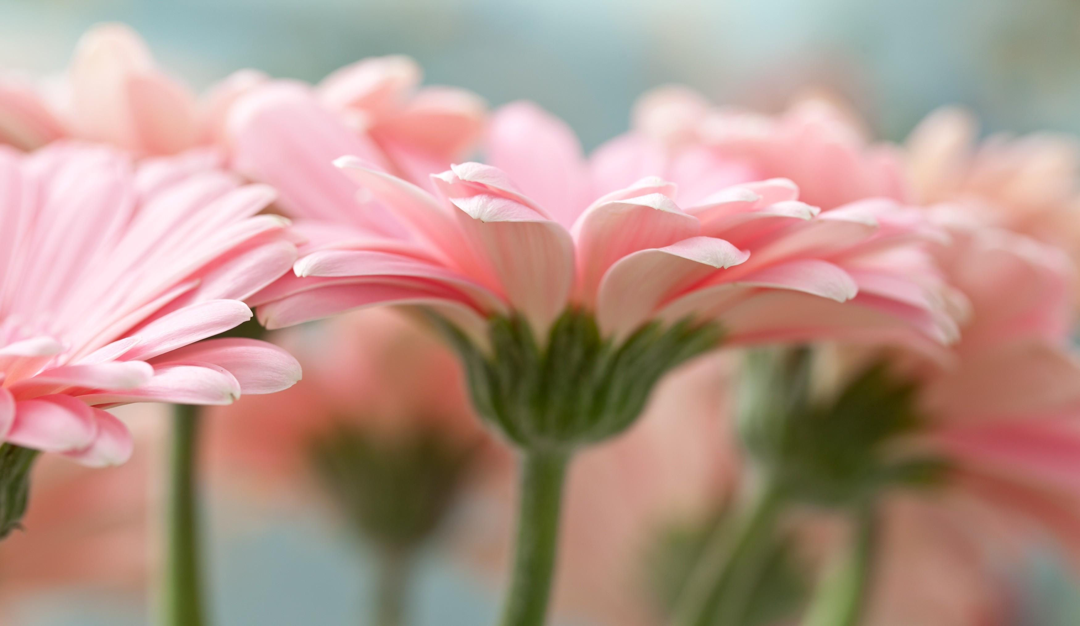 цветы макро розовые  № 1347129  скачать