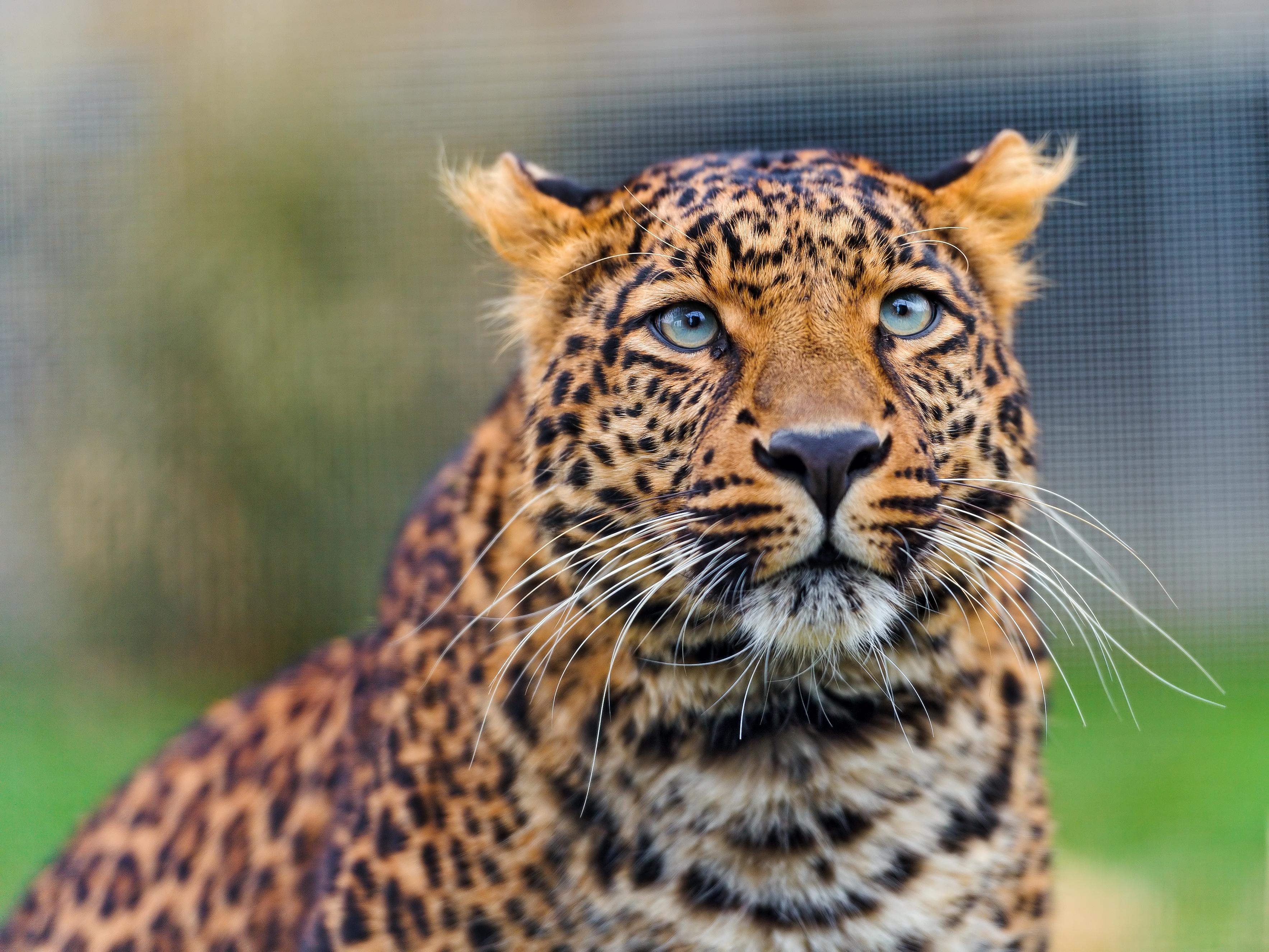 parambi leopard - HD1920×1440