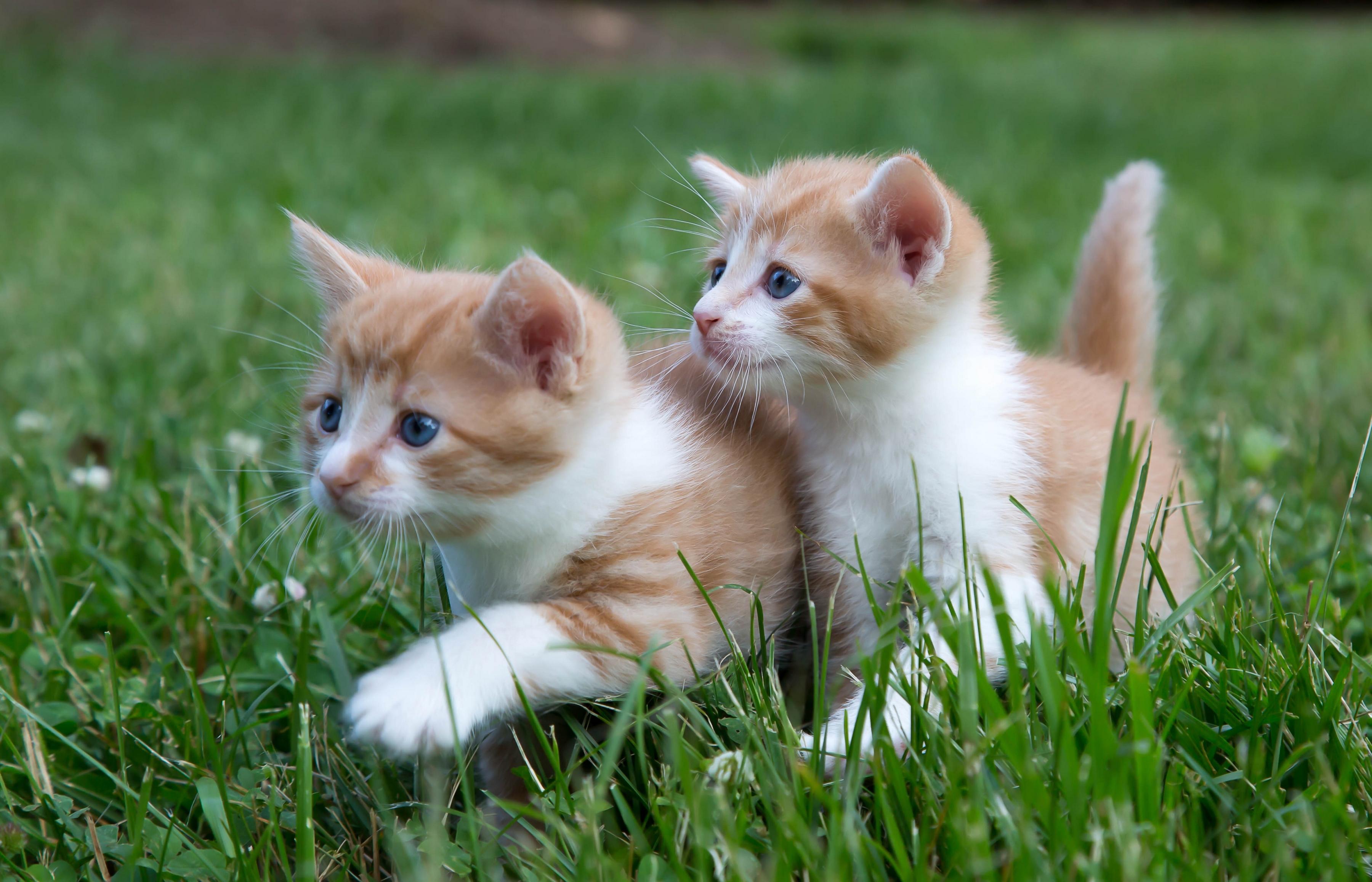 Котенок играющий с кошкой в траве  № 1994914 без смс