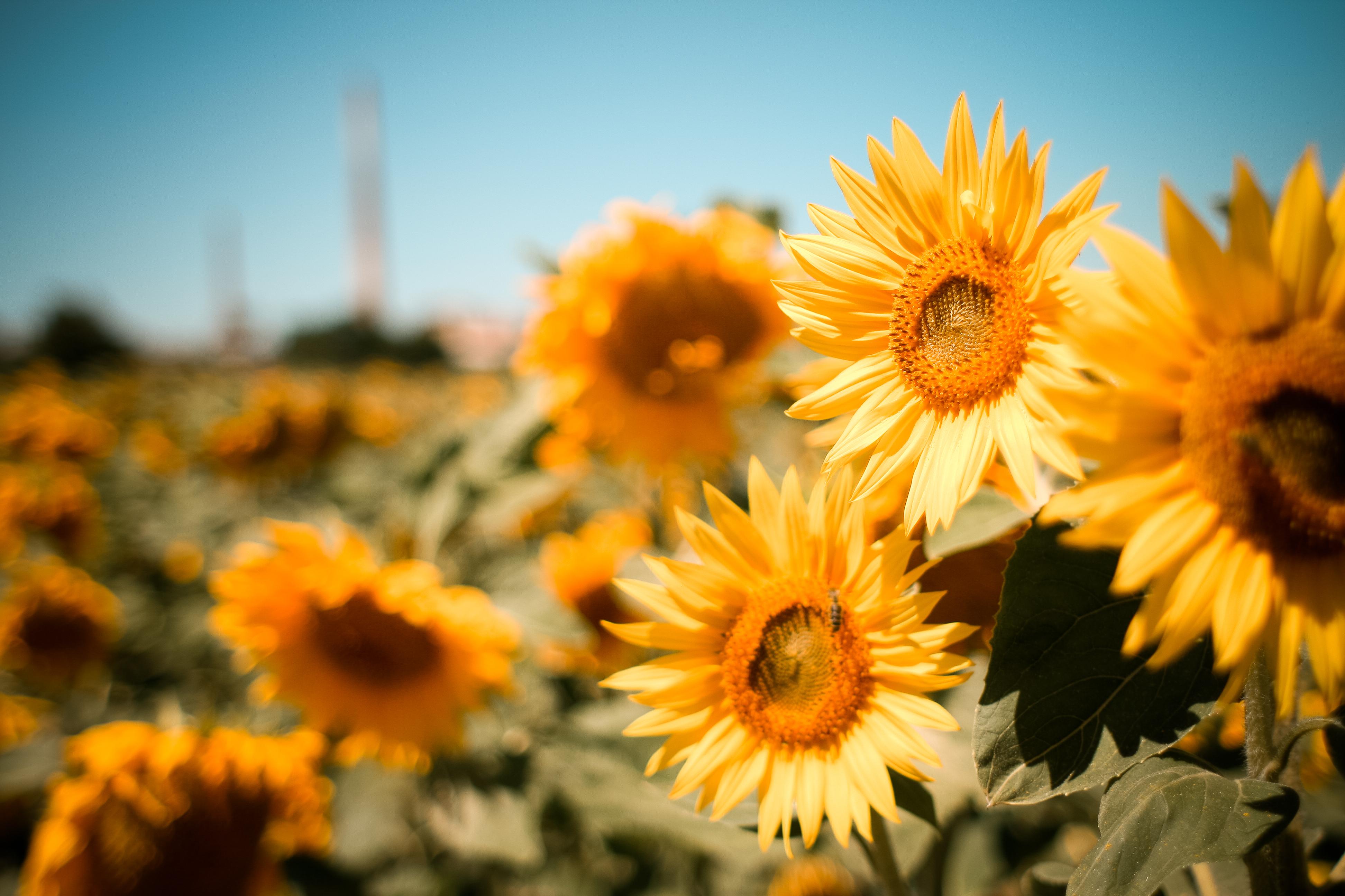 природа цветы подсолнечник  № 2671780 бесплатно