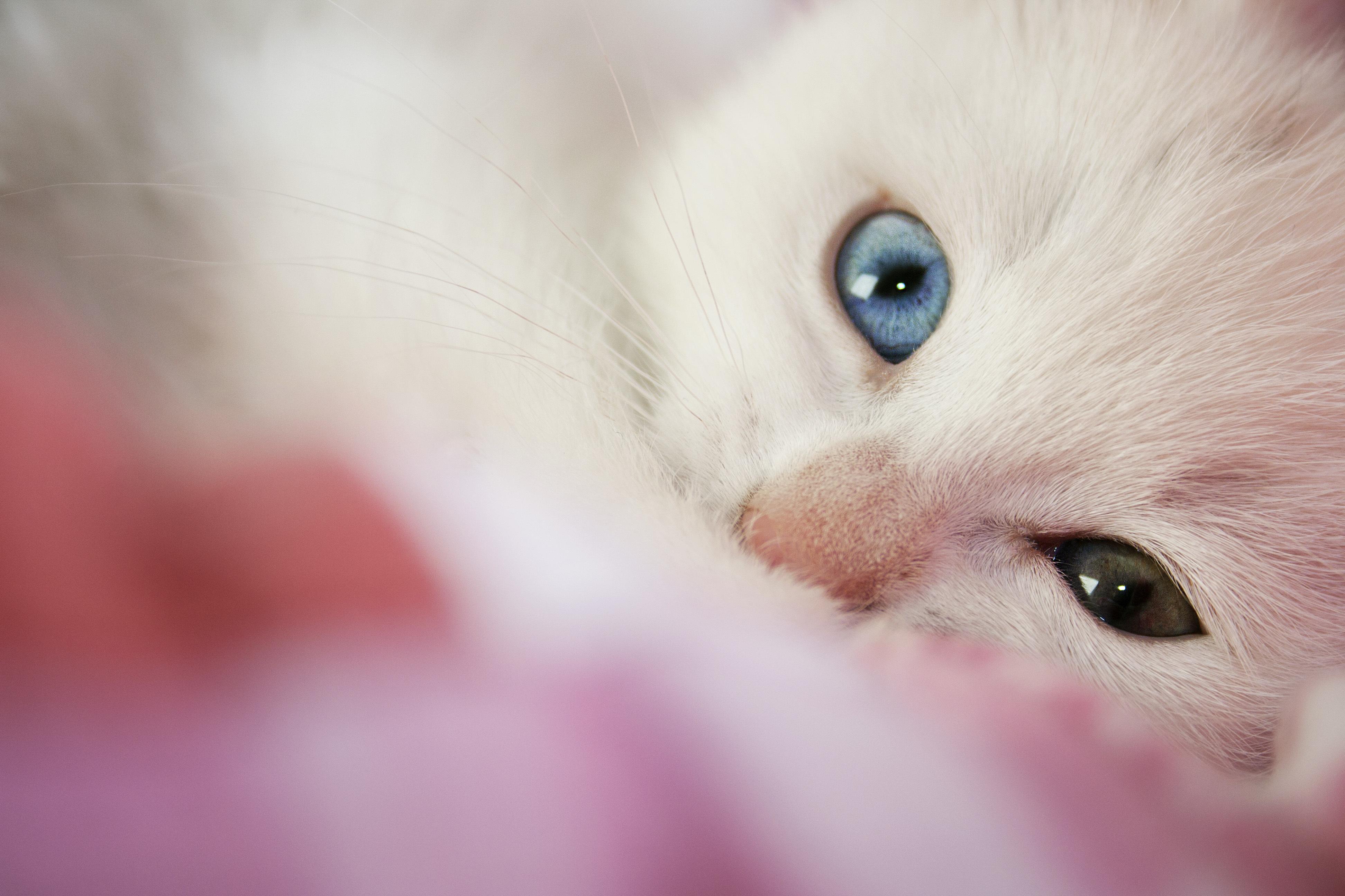 Белый кот разные глаза  № 2956461 загрузить