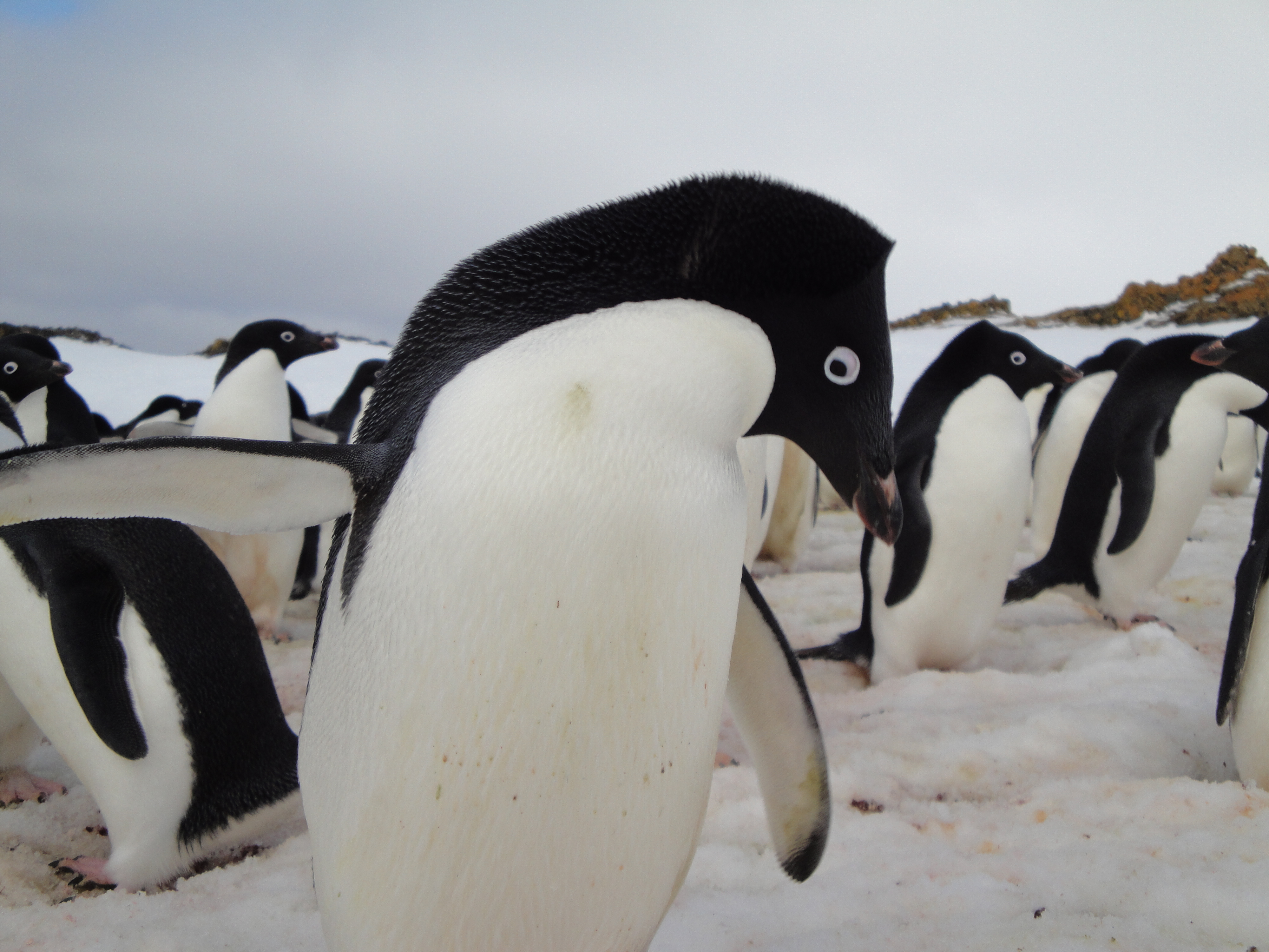 Pictures of animals found in antarctica Polar Bear Facts and Adaptations - Antarctica