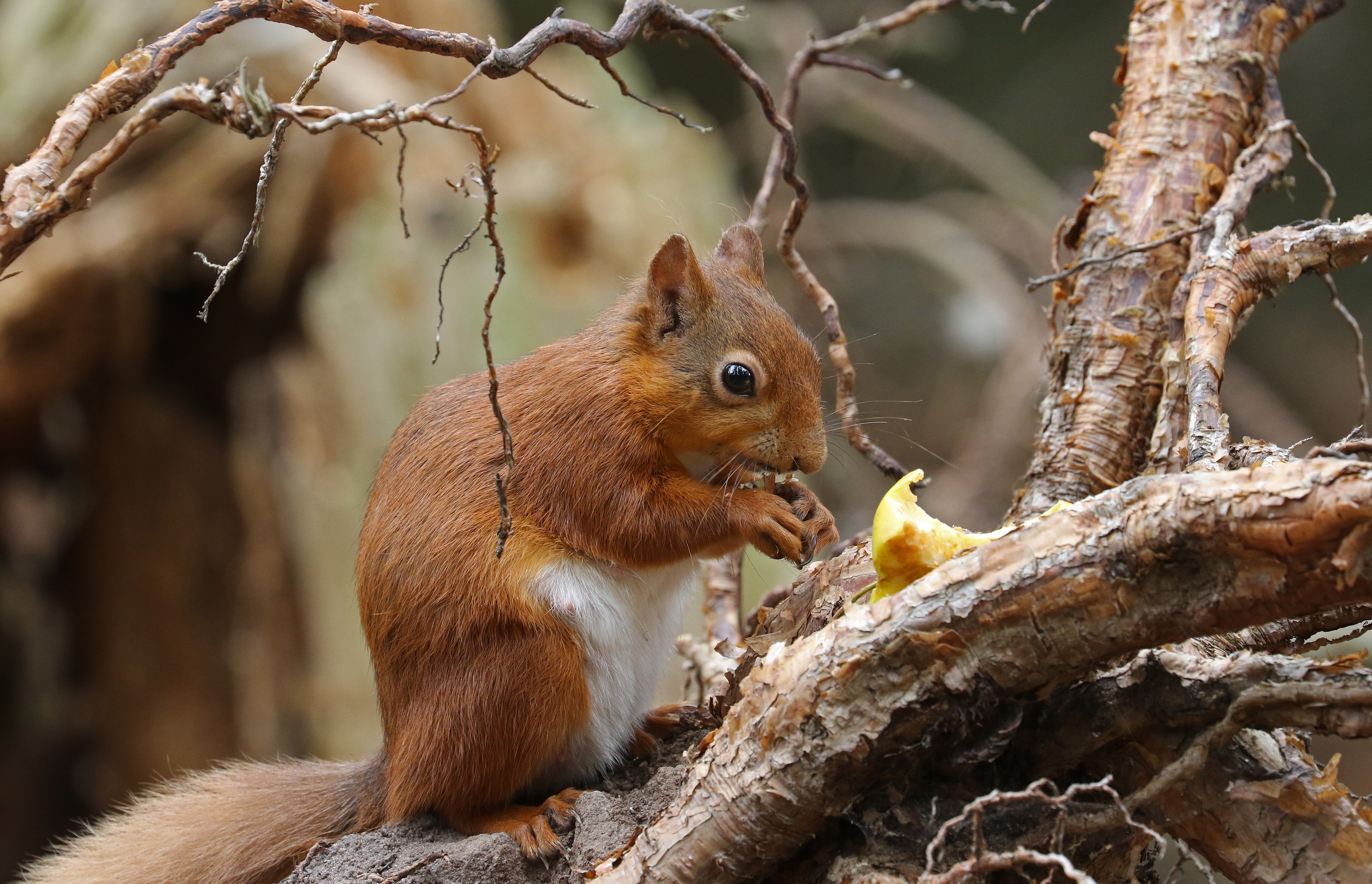 природа животные белка nature animals protein  № 1115668 бесплатно