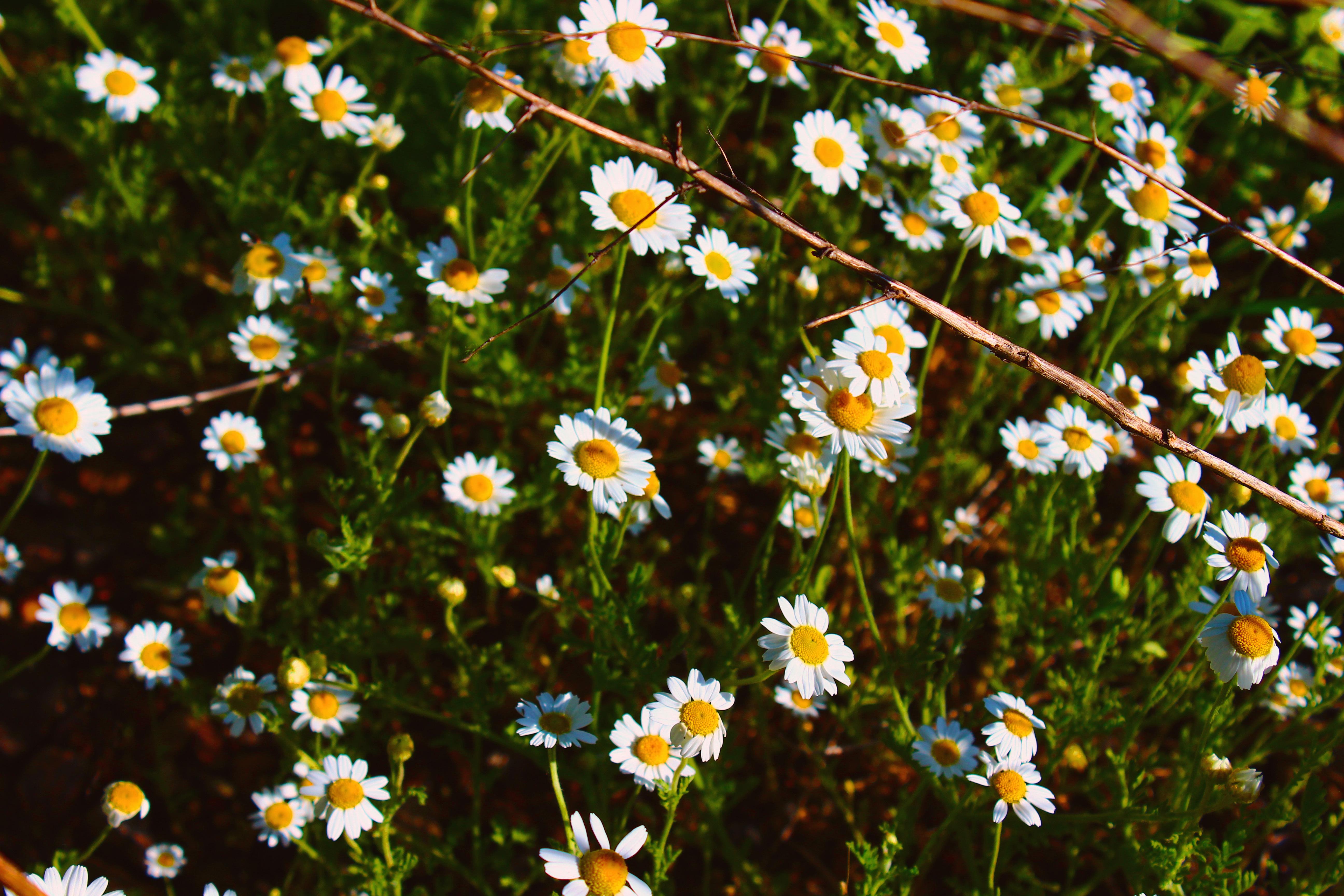 ромашки трава chamomile grass  № 3837829  скачать