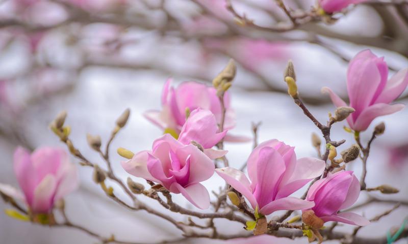 magnoliya rozovyy vetka vesna