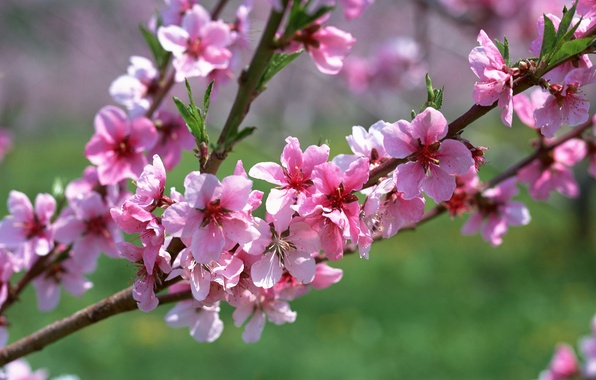Picture macro, flowers, pink, branch, spring, apricot