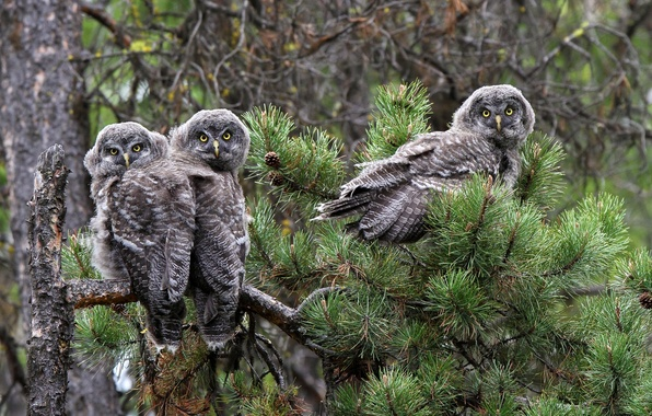 Picture birds, branch, owls, pine, Great grey owl