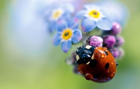 Picture flower, drops, Rosa, plant, ladybug, petals, insect