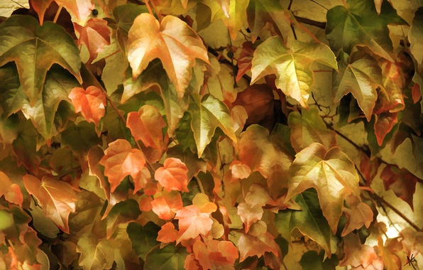 Photo wallpaper leaves, thickets, ivy