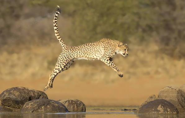 Picture water, stones, jump, Cheetah