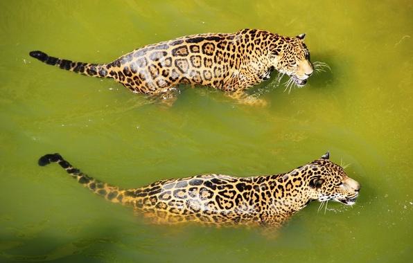 Picture water, predator, bathing, Jaguar