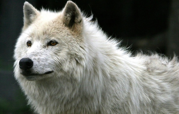 Picture White, Wolf, Everyday