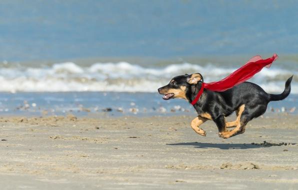 Picture sea, beach, dog, running, superdog