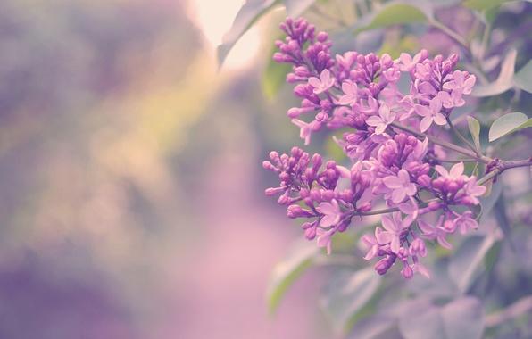 Picture flowers, color, Bush, branch, lilac