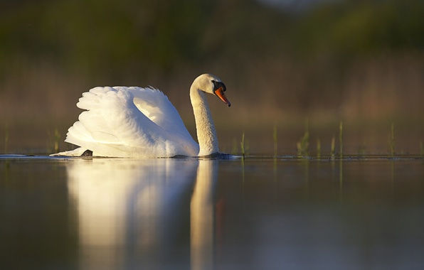 Picture white, grass, sunset, lake, pond, surface, reflection, bird, Swan