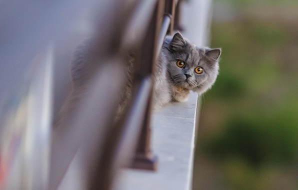 Picture cat, face, the fence, looks