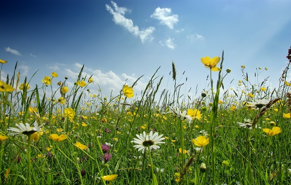 Picture GRASS, The SKY, GREENS, FLOWERS, SPRING, GLADE, CHAMOMILE