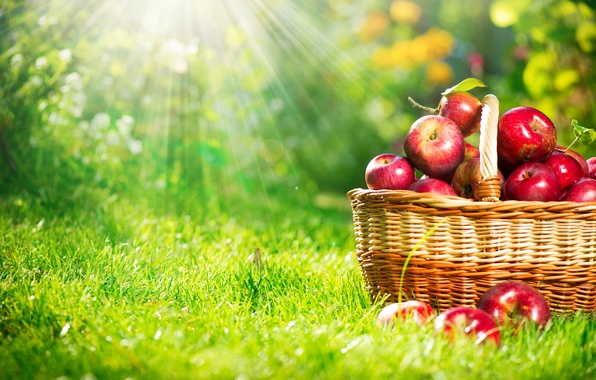 Picture nature, basket, apples, weed, the sun's rays
