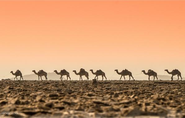 Picture desert, heat, Caravan, camels