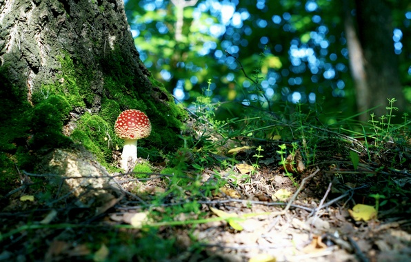 Picture FOREST, TREE, GREENS, MACRO, MOSS, MUSHROOM, FOLIAGE, MUSHROOM